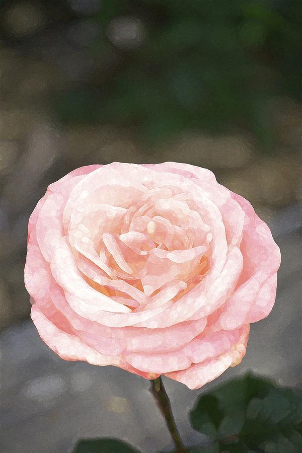 Rose 195 Photograph