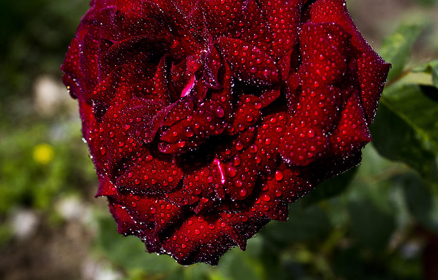 Rose And Dew Photograph