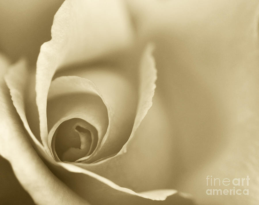Rose Close Up - Gold Photograph  - Rose Close Up - Gold Fine Art Print