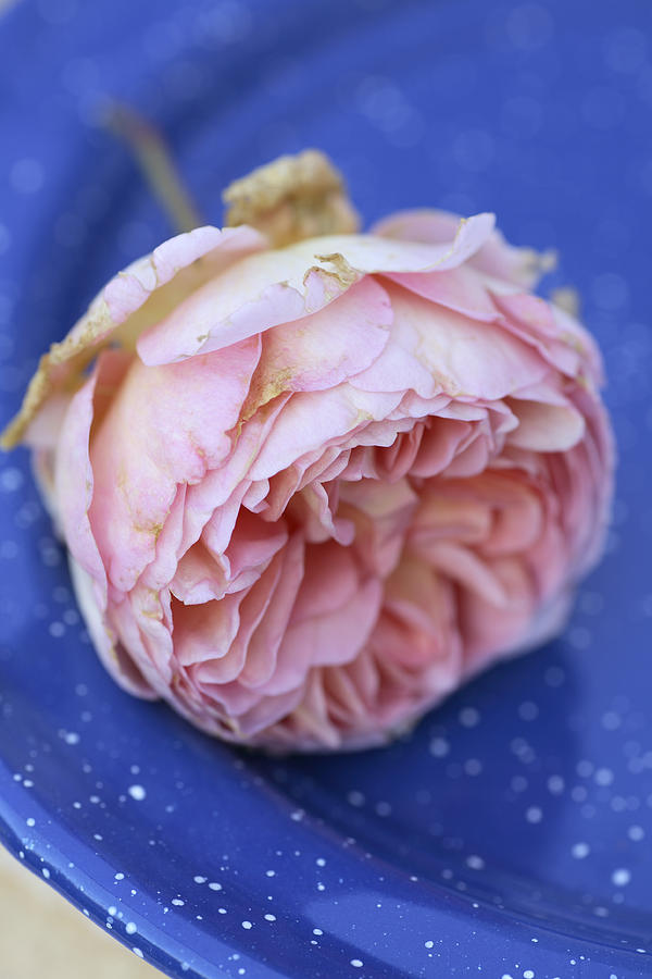 Rose Flower Photograph