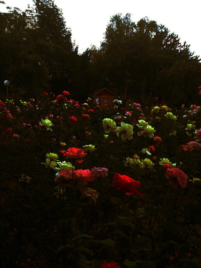 Beauty Photograph - Rose Garden by Lucy D