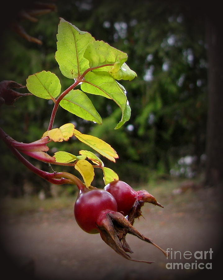 Rose Hips Reaching Photograph