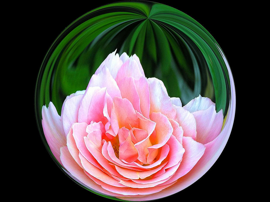 Rose In A Ball Photograph  - Rose In A Ball Fine Art Print