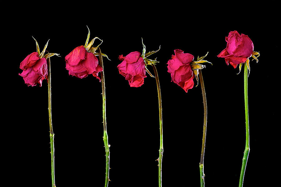 Rose Lineup Pyrography