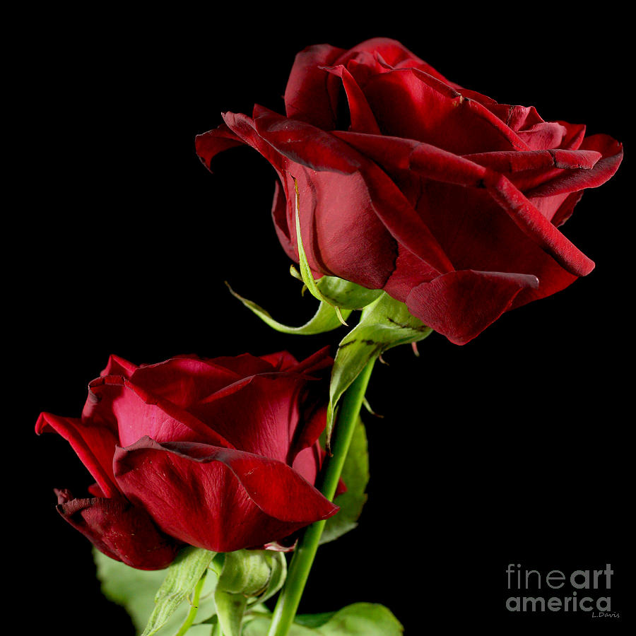 Rose Of Love Photograph  - Rose Of Love Fine Art Print
