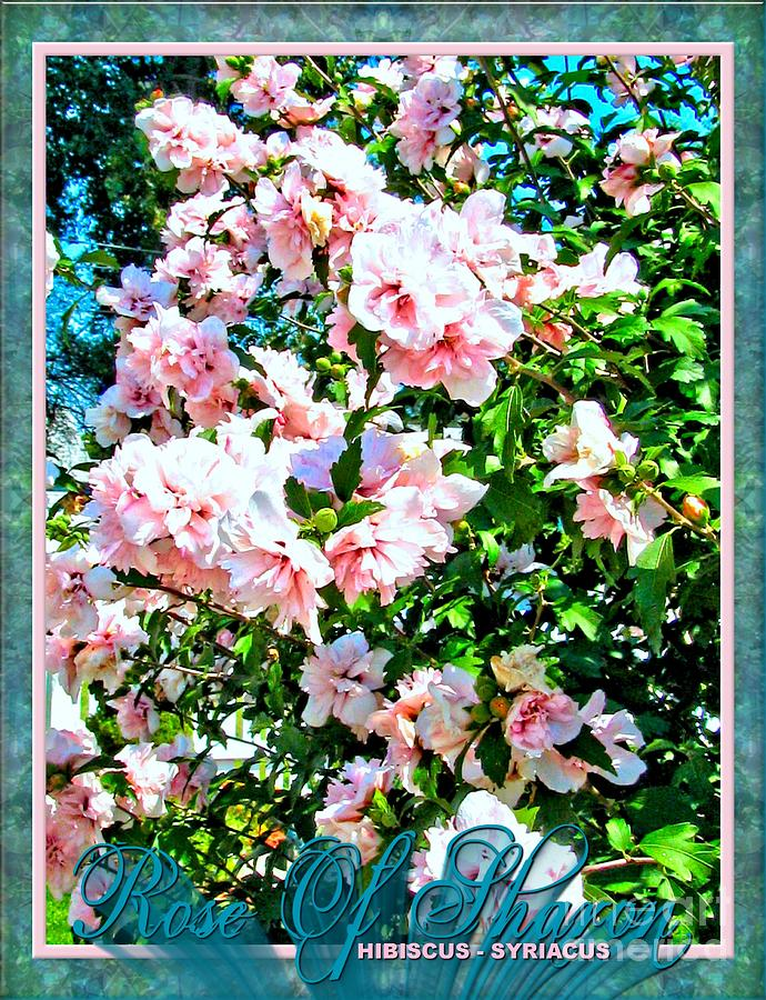 Rose Photograph - Rose Of Sharon -hibiscus Syriacus by Margaret Newcomb