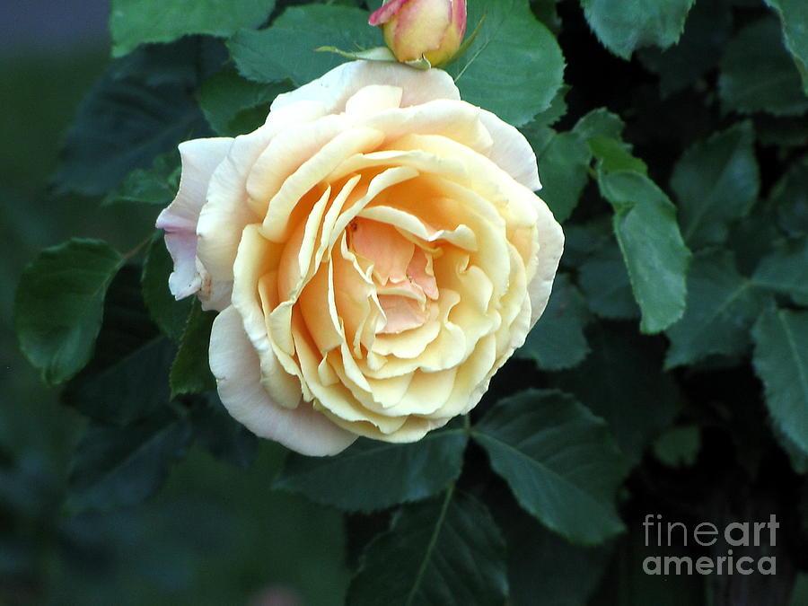 The Nature Photograph - Rose Ros by Yury Bashkin