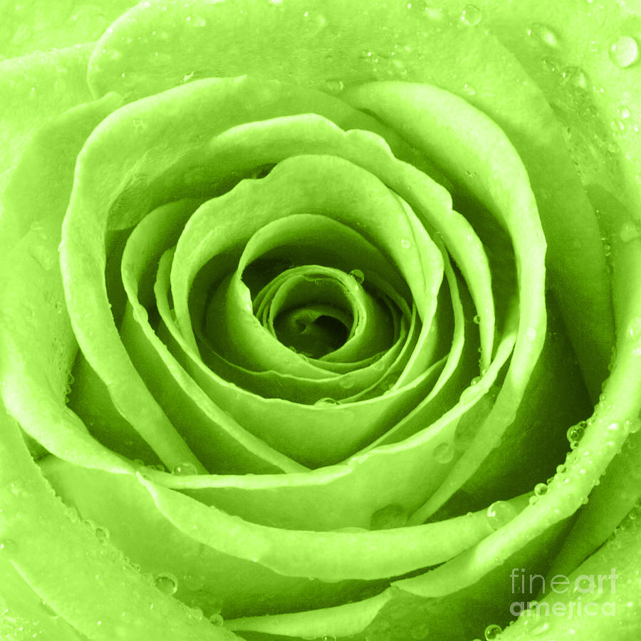 Rose with water droplets lime green photograph by for Green colour rose images