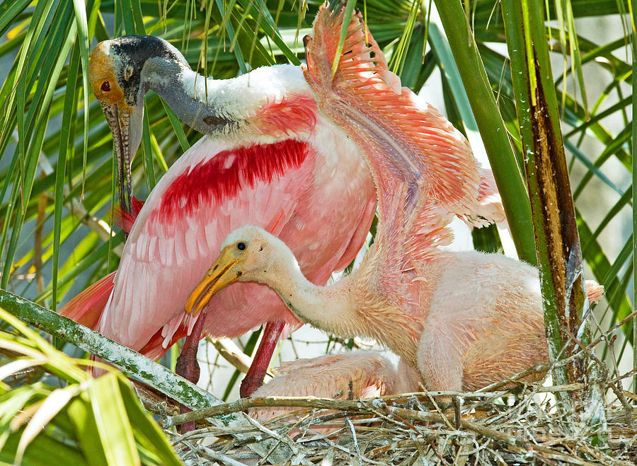 Animal Photograph - Roseate Spoonbill Adult And Nestlings by Millard H. Sharp