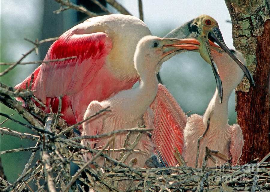 Roseate Spoonbill Feeding Young At Nest Photograph