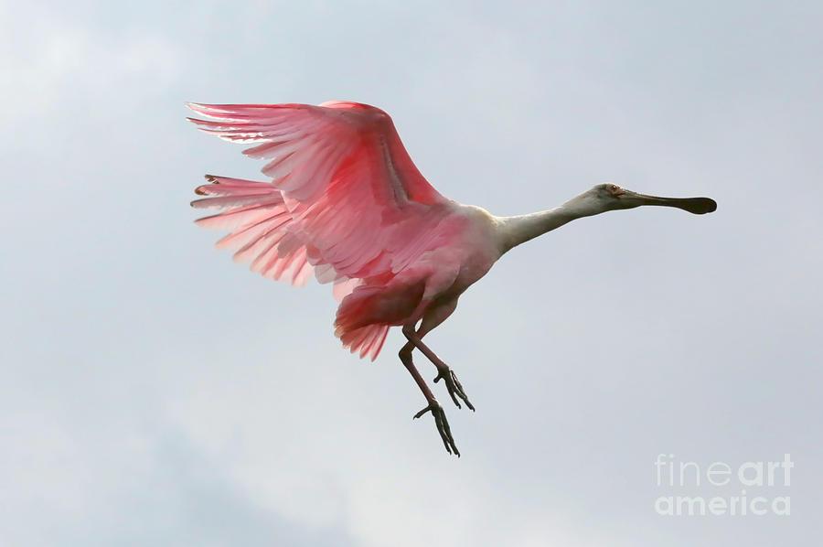 Roseate Spoonbill In Flight by Carol Groenen