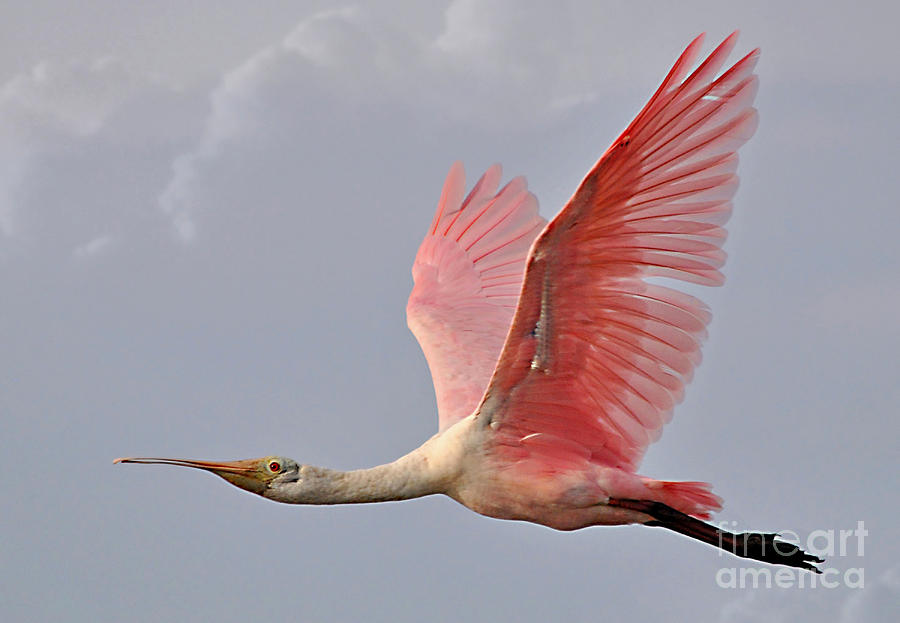 Roseate Spoonbill In Flight by Kathy Baccari