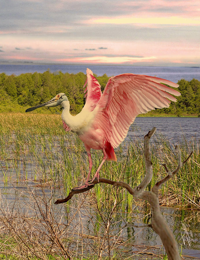 Roseate Spoonbill At Lake St. George Digital Art