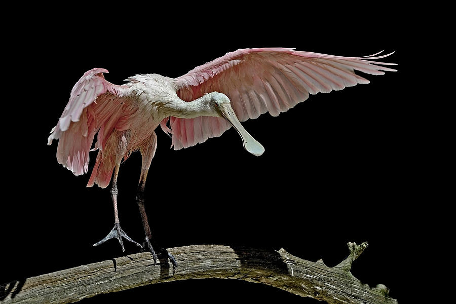 Roseate Spoonbill Photograph - Roseate Spoonbill by Stuart Harrison