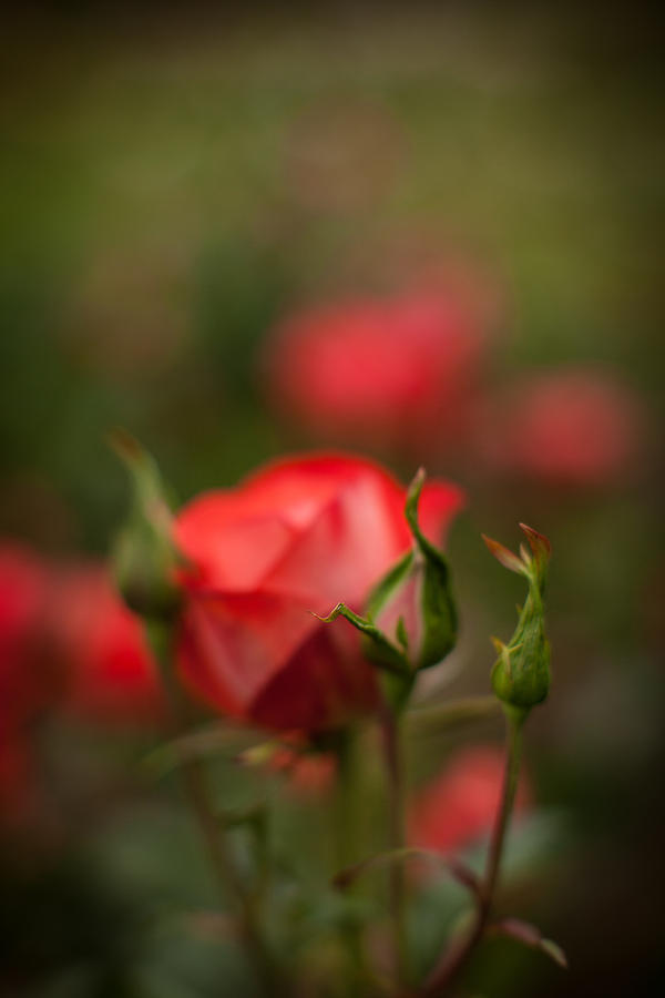 Rose Photograph - Rosehip Edge by Mike Reid