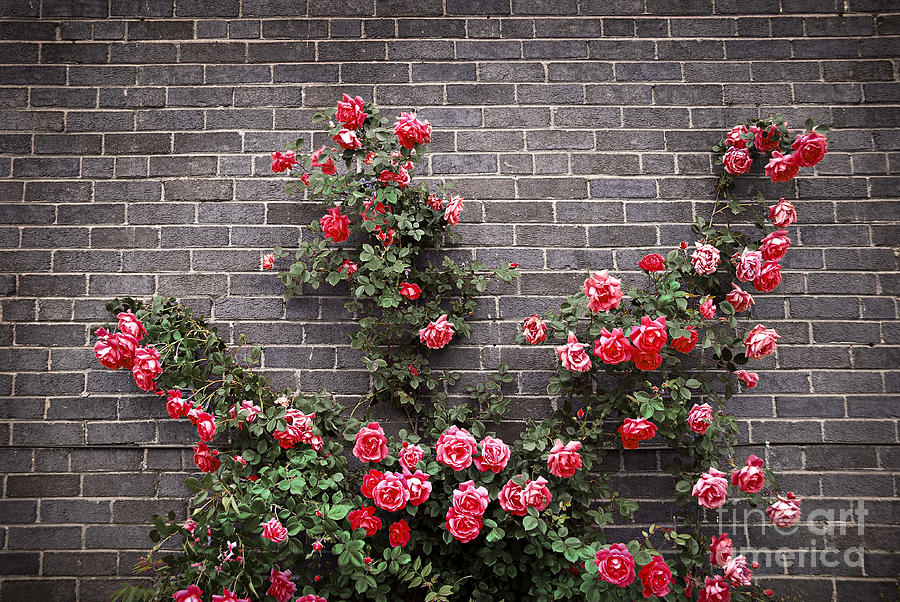Roses On Brick Wall Photograph