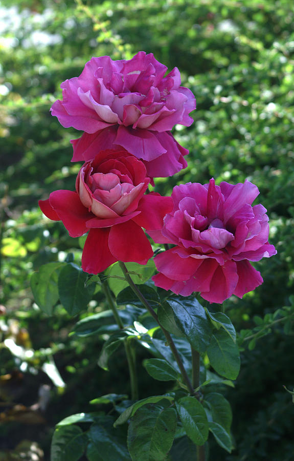 Roses Trio Photograph