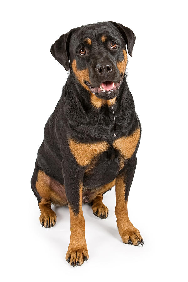 Dog Photograph - Rottweiler Dog With Drool by Susan  Schmitz
