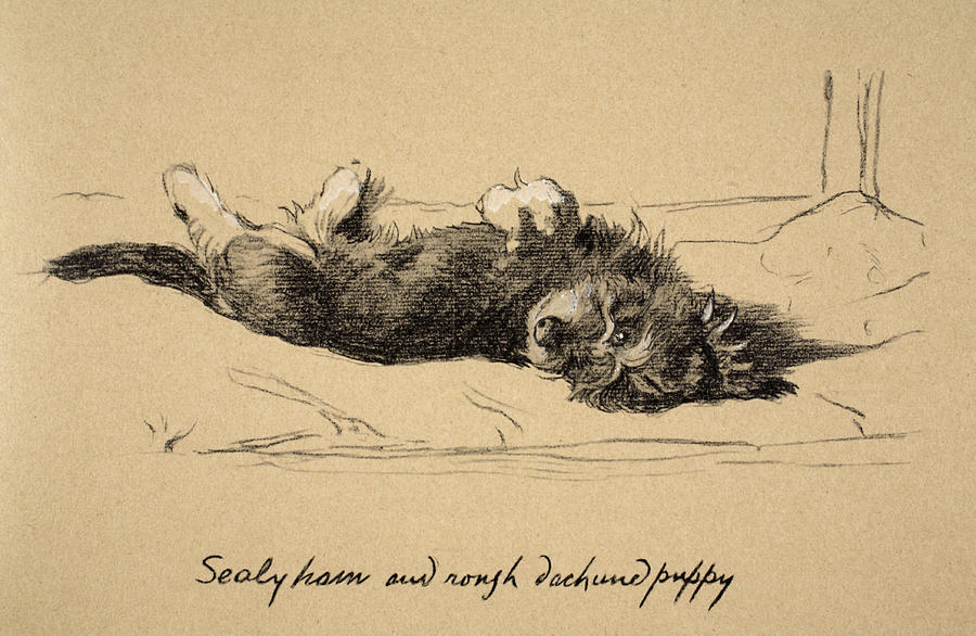 Dog Drawing - Rough Daschund Puppy Detail, 1930 by Cecil Charles Windsor Aldin