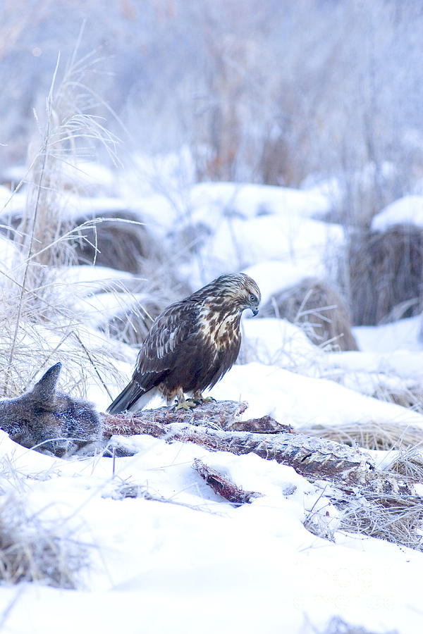 Fauna Photograph - Rough Legged Hawk On Deer Carcass by Gregory K Scott