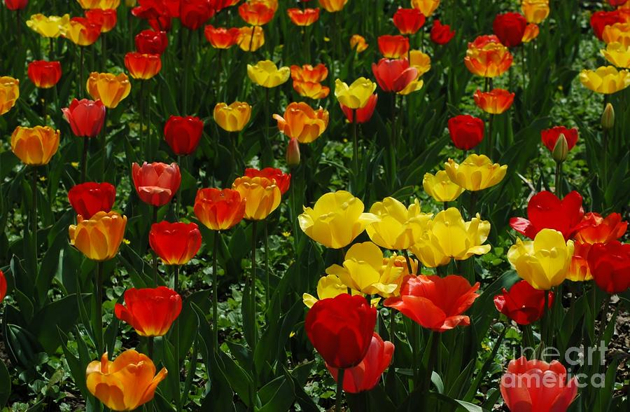 Red Photograph - Rows Of Tulips by Kathleen Struckle