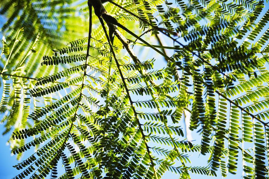 Royal Poinciana Tree Photograph