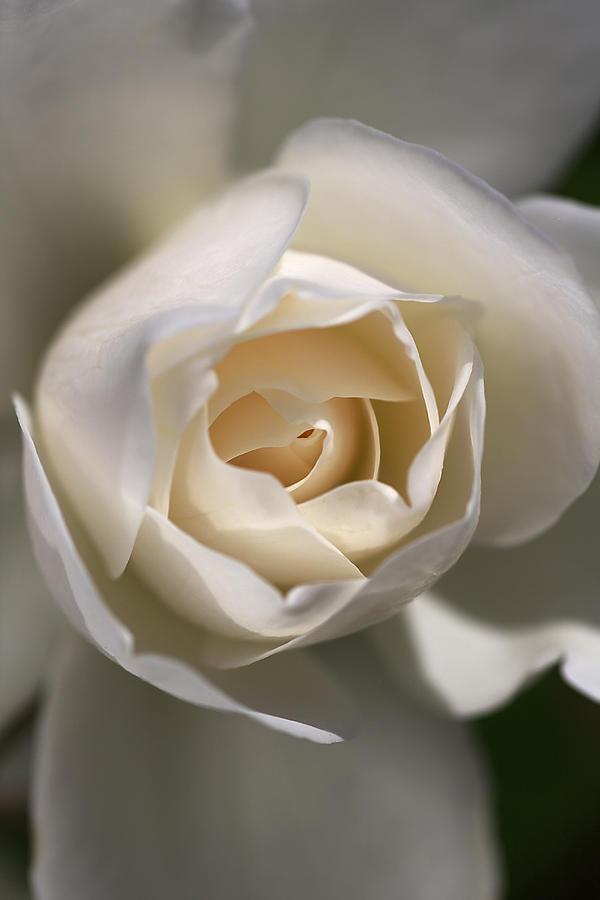 Royal White Photograph by Joy Watson