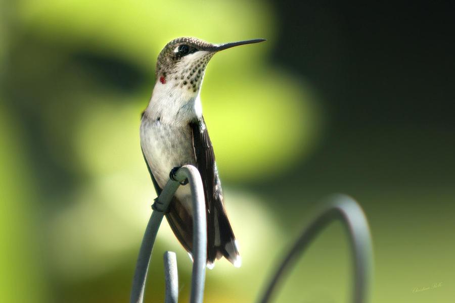 Ruby-throated Hummingbird Photograph