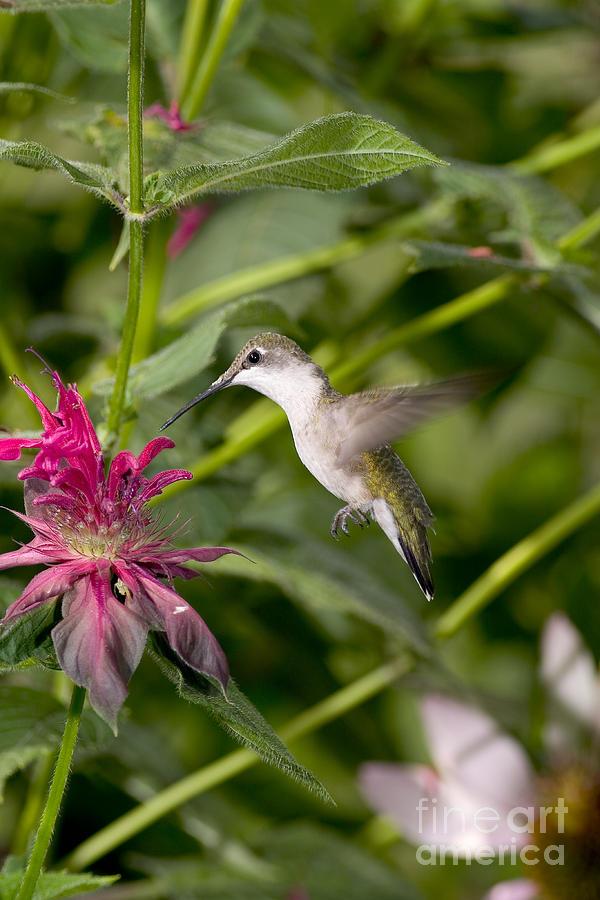 Ruby-throated Hummingbird Photograph - Ruby-throated Hummingbird by Gregory K Scott
