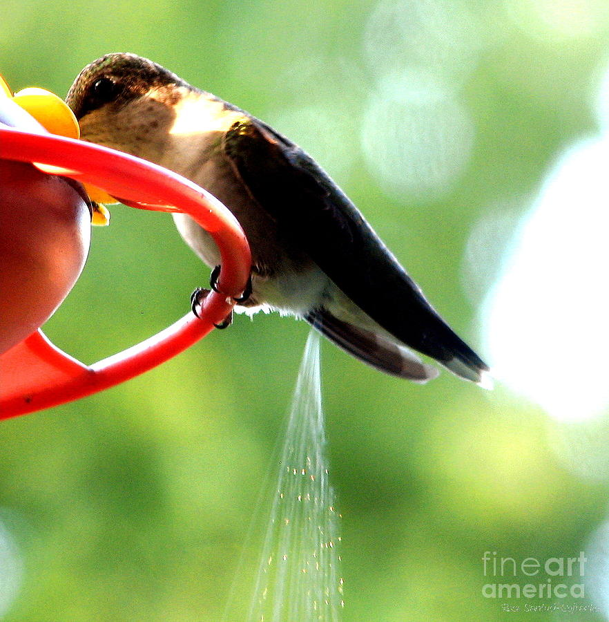 http://images.fineartamerica.com/images-medium-large-5/ruby-throated-hummingbird-pooping-rose-santuci-sofranko.jpg