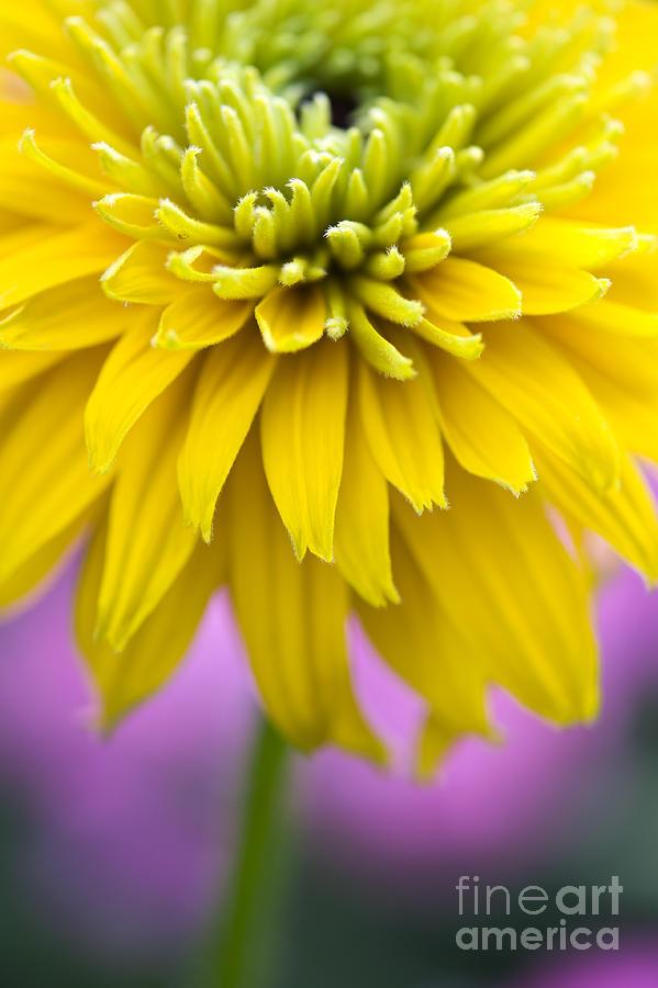 Rudbeckia Cherokee Sunset Flower Photograph