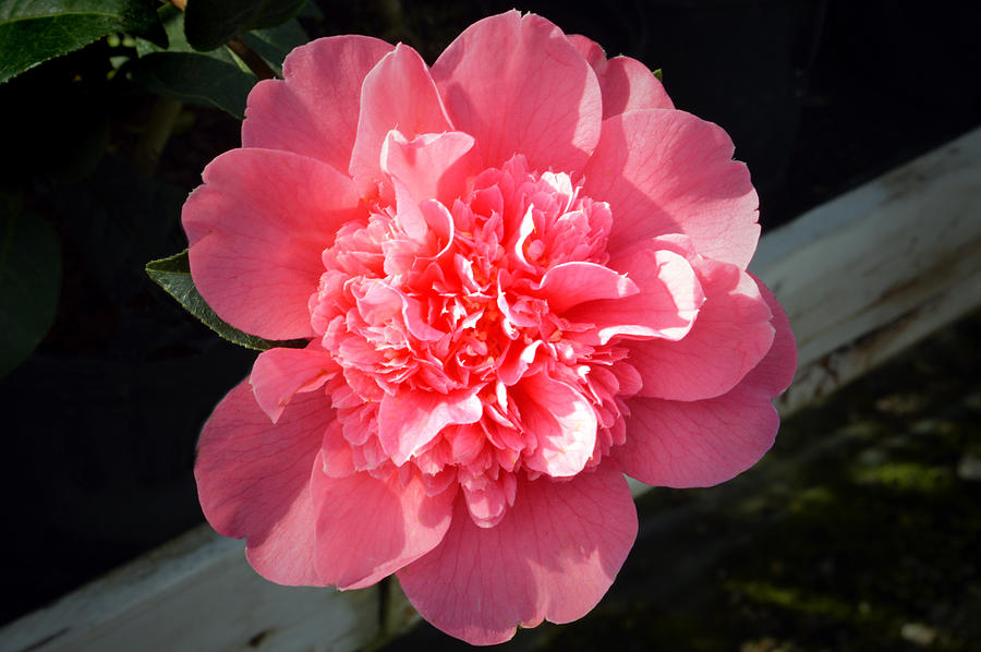 Ruffles In Pink. Photograph