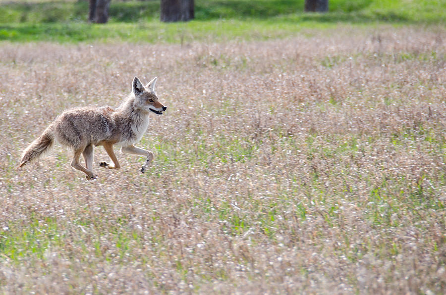 Running Coyote Photograph by Alexander Heavner  Running Coyote ...