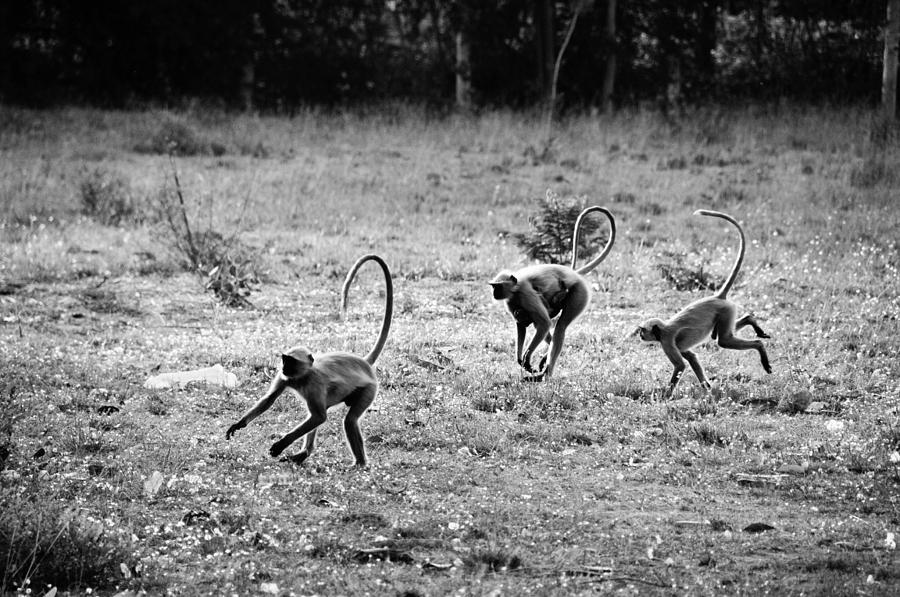 Running Gibbons Photograph  - Running Gibbons Fine Art Print