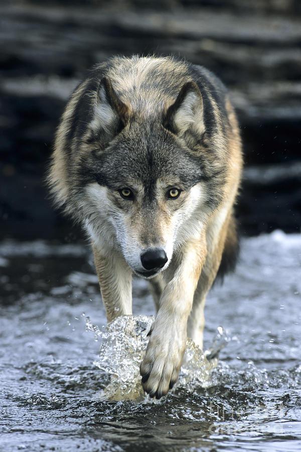 running wolf photograph by chris scroggins