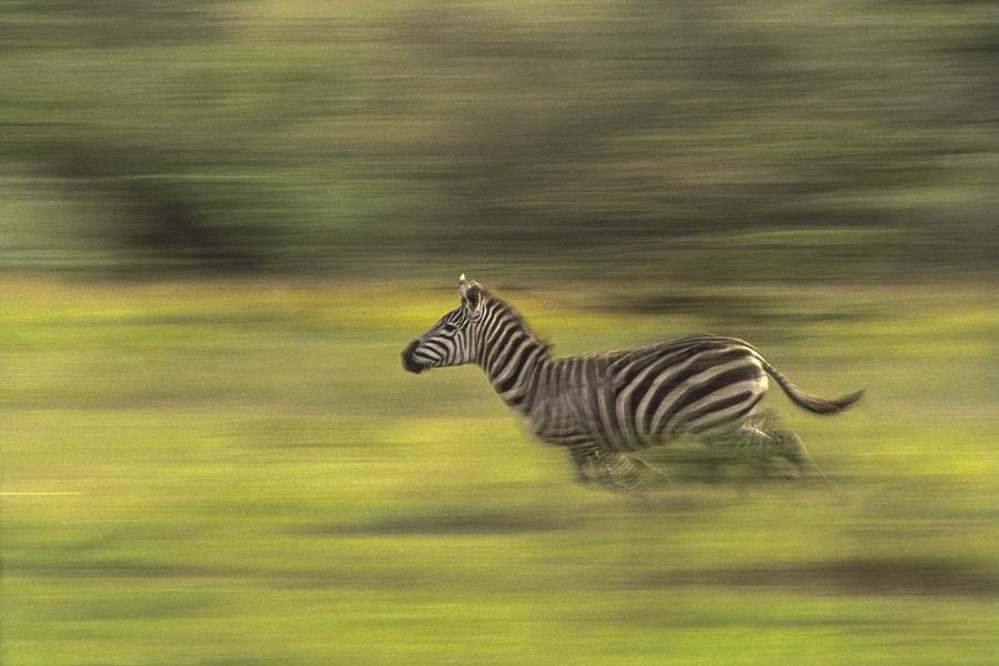 zebra running - photo #22