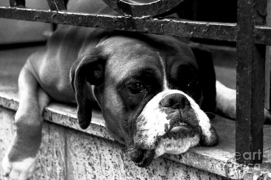 Boxer Photograph - Rush Hour... by Alan Harman