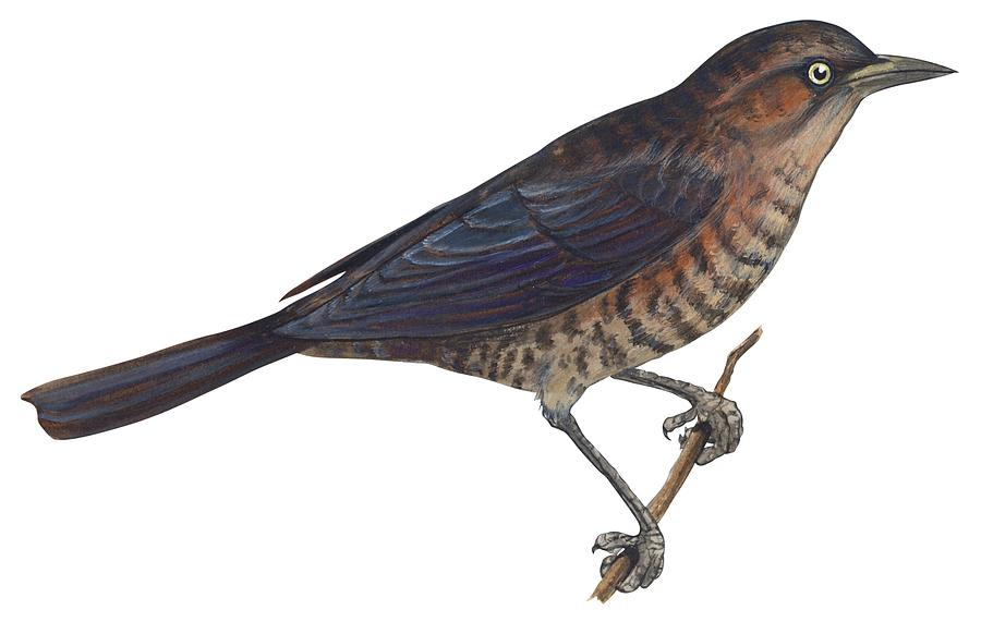 No People; Horizontal; Studio Shot; Side View; Close-up; Full Length; White Background; One Animal; Animal Themes; Nature; Wildlife; Illustration; Zoology; Rusty Blackbird; Perching; Twig; Biology; Euphagus Carolinus; Bird Drawing - Rusty Blackbird  by Anonymous