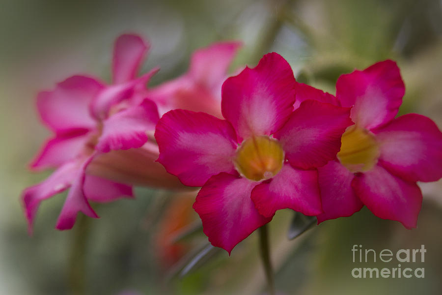 Sabi Star - Desert Rose Garden Of Dreams Hawaii Photograph