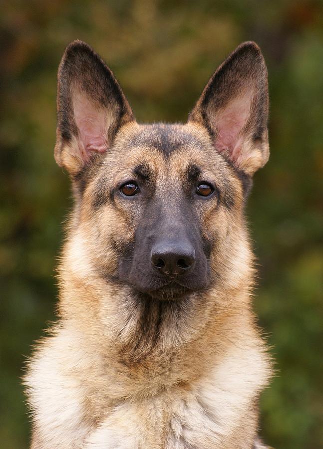 German Shepherd Photograph - Sable German Shepherd Dog by Sandy Keeton