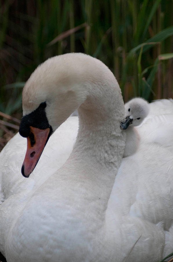 Swan Photograph - Safe And Sound by Terry Cosgrave