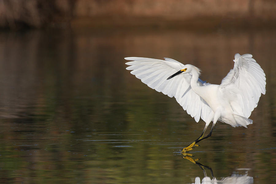 Egret Photograph - Safe Landing by Ruth Jolly