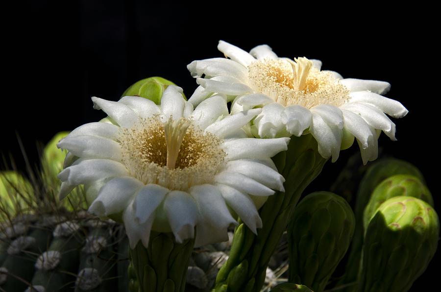 Saguaro Cactus Flowers  Photograph