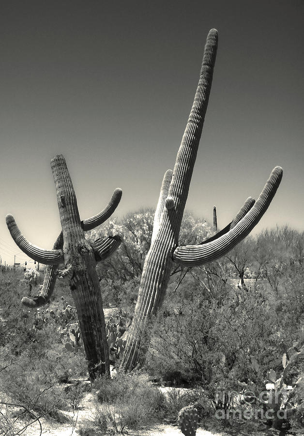 Saguaro Cactus Painting - Saguaro Cactus In Duotone by Gregory Dyer