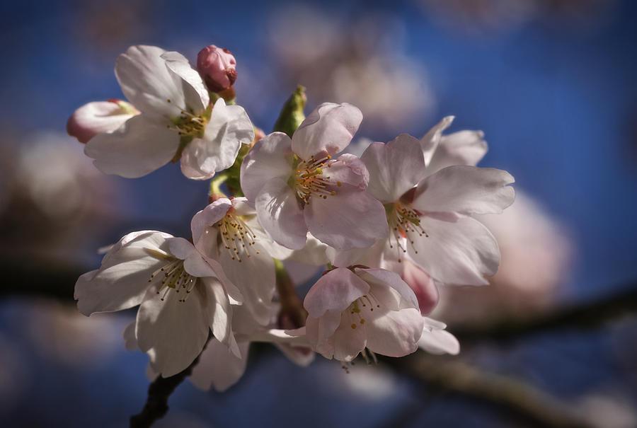 Sakura 2013 Photograph
