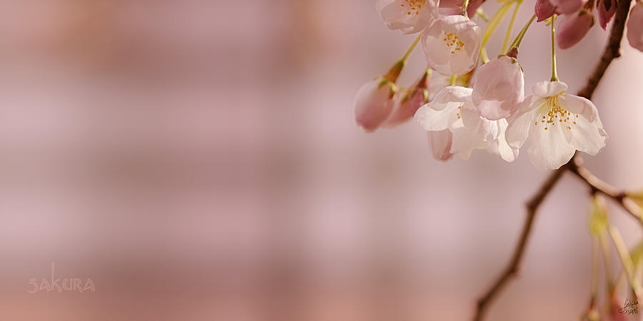 Lisa Knechtel Photograph - Sakura by Lisa Knechtel