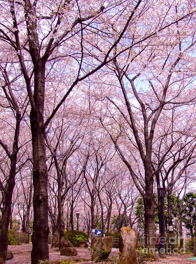Sakura Tree Photograph