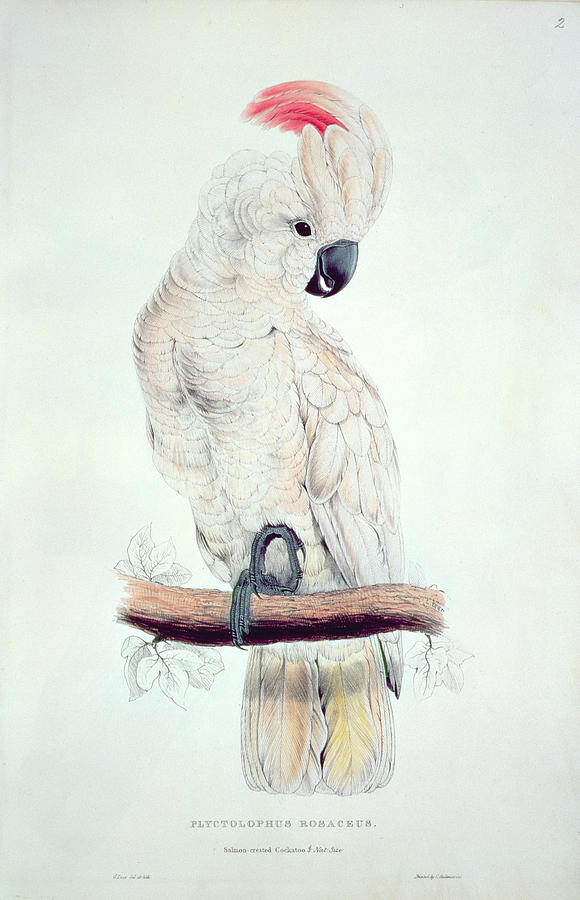 Salmon Crested Cockatoo Painting