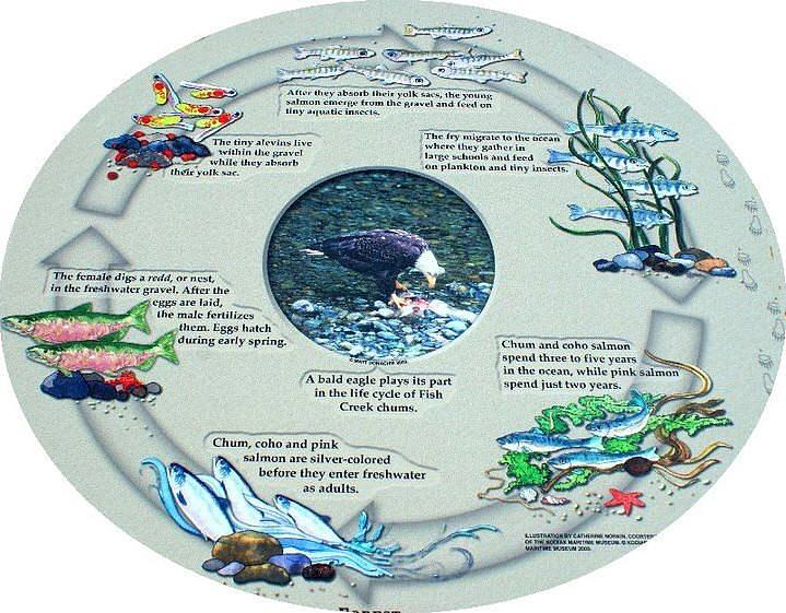 life cycle of a salmon colouring pages  page 3 Salmon Life Cycle Map