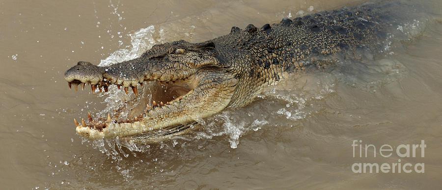 Crocodile Photograph - Saltwater Crocodile by Bob Christopher